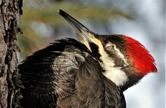 Sleeping beauty (Jeannine St-Amour Photography) Tags: bird woodpecker pileatedwoodpecker nature wildlife