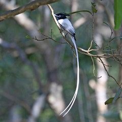 Indian Paradise Flycatcher ♂ Terpsiphone paradisi (Roger Wasley) Tags: indian paradise flycatcher terpsiphone paradisi wilpattu national park srilanka male wild bird asia