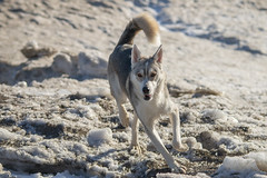 "This is Charlie (A Great Capture) Tags: agreatcapture agc wwwagreatcapturecom adjm ash2276 ashleylduffus ald mobilejay jamesmitchell toronto on ontario canada canadian photographer northamerica torontoexplore winter l'hiver 2019 dog husky pet beaches beach cold snow weather natur nature naturaleza natura naturephotography naturethroughthelens sigma ""150500mm f563 apo dg os hsm"" outdoor outdoors outside branch branches neige schnee"