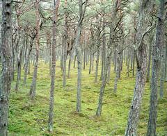 (mariuszlemiecha) Tags: fujigw670iii kodakportra400 epsonv700 poland forest landscape
