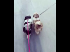 Cute Couple Dogs Walk Together (tipiboogor1984) Tags: aww cute cat funny dog youtube
