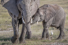Trunk Snuggles (helenehoffman) Tags: africa elephant loxodontaafricana kenya conservationstatusvulnerable africanbushelephant amboselinationalpark animal mammal