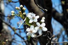 Bradford Flowering Pear (Jim Atkins Sr) Tags: tree bradfordfloweringpear pyruscalleryanabradford flower closeup macro fairfieldharbour northcarolina finepix hs30exr