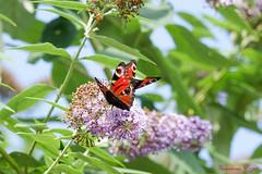 Duo de Paon du jour  Aglais io peacock (Ezzo33) Tags: france gironde nouvelleaquitaine bordeaux ezzo33 nammour ezzat sony rx10m3 parc jardin papillon papillons butterfly butterflies specanimal paondujour aglaisiopeacock