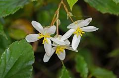 White beauties! Begonia! (Uhlenhorst) Tags: 2018 australia australien plants pflanzen flowers blumen blossoms blüten travel reisen ngc npc