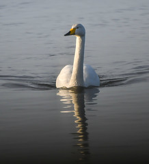 Norfolk Feb 2019 Whooper Swan