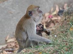 Macaques, Belum, Malaysia (davidpetergibbins) Tags: