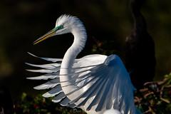 Sexy Bird (DonMiller_ToGo) Tags: animals wildlife venicerookery greatwhiteegret nature onawalk birds outdoors birdwatching egret d810 rookery florida