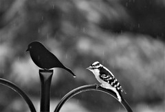Downy Woodpecker (karma (Karen)) Tags: baltimore maryland home backyard birds downywoodpecker sleet dof bokeh mono bw hmbt cmwd