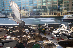 Duck Stampede (A Great Capture) Tags: agreatcapture agc wwwagreatcapturecom adjm ash2276 ashleylduffus ald mobilejay jamesmitchell toronto on ontario canada canadian photographer northamerica torontoexplore winter l'hiver 2019 ducks mallard waterfront lake lakeontario pigeon birds mallards frozen icy ice snow colours colors colourful colorful light sun sunny sunshine sunlight eos digital dslr lens canon 70d natur nature naturaleza natura naturephotography naturethroughthelens sigma 1750mm urbannature outdoor outdoors outside vibrant cheerful vivid bright neige schnee flight inflight