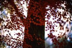 red butterflies (jaxting) Tags: jaxting trees japan tokyo maple japanesemaple velvia50 velvia fujifilm filmisnotdead istillshootfilm leicamp leica noctilux