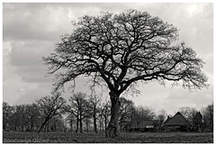 Landscape Oak Tree. (Boudewijn Olthof) Tags: oak tree engishoak trees landscape nature countryside bw black white dutch netherlands holland nikon boudewijnolthof eik eiche chêne drenthe