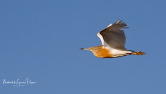 Heron Squacco (michael heyns) Tags: squaccoheron bird 2018 heronsandbitterns xaro ardeidae ardeolaralloides
