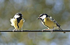 """""""Sure is windy out here!"""" (Sandi - (Very Busy Lady!)) Tags: mar19 pano1000 tits great blowing feathers cc wk11"""