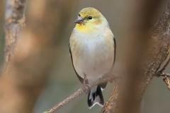 American goldfinch at Lake Meyer Park IA 653A3178 (naturalist@winneshiekwild.com) Tags: american goldfinch lake meyer park winneshiek county larry reis iowa