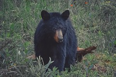 Black Bear... (Somewhere in the Mountains) Tags: bear mountains wildlife nature