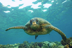 coming through (BarryFackler) Tags: honu greenseaturtle marinereptile vertebrate seacreature marinelife sealife marinebiology organism tropical creature life ecology 2018 diving aquatic cheloniamydas turtle seaturtle biology hawaiiangreenseaturtle fauna nimal kona reptile marine hawaiiisland cmydas carapace plastron shell dive scuba southkona sea sealifecamera sandwichislands seawater saltwater ocean water marineecosystem marineecology nature being konadiving pacificocean island bay underwater naturephotography wildlife reef honaunaubay ecosystem westhawaii hawaii bigislanddiving diver undersea underwaterphotography barryfackler coralreef hawaiicounty zoology konacoast honaunau polynesia outdoor bigisland hawaiidiving barronfackler hawaiianislands