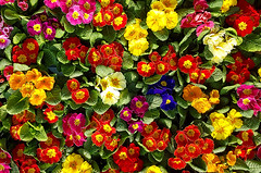 Colors of spring (divertom68) Tags: blume flower primel bunt blüte frühling colorful spring schlüsselblume primulaceae heidekrautartige