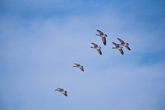 Mighty Geese (dan.clayton) Tags: inglewoodbirdsanctuary baldeagle canadagoose canada calgary bowriver