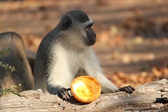 I want another one  (Vervet Monkey / Blou Aap (Pixi2011) Tags: monkeys krugernationalpark southafrica africa wildlife nature coth coth5 fantasticnature