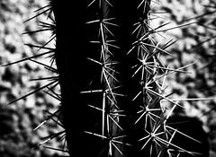 Survivor (Tom Levold (www.levold.de/photosphere)) Tags: fuji xpro2 xf90mm sw bw cactus kaktus sukkulente succulent abstract abstrakt