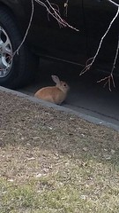 SIGHTING rabbit #mtpleasant 17Ave NW & 5th Street Pls RT Share, watch for owner awareness YYC Pet Recovery shared a post. Saw this domesticated looking bunny on 17th Avenue NW between 5th abd 6th St. 2019-03-29T20:46:31.000Z by YYC Pet Recovery original f (yycpetrecovery) Tags: ifttt march 30 2019 0111am