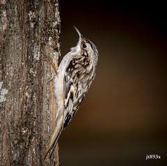 Brown Creeper (jt893x) Tags: 150600mm bird browncreeper certhiaamericana creeper d500 jt893x nikon nikond500 sigma sigma150600mmf563dgoshsms songbird thesunshinegroup sunrays5 coth coth5