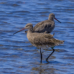south from siberia - black-tailed godwits (Fat Burns ☮) Tags: blacktailedgodwit limosalimosa godwit bird australianbird shorebird fauna australianfauna nikond500 nikon200500mmf56eedvr nature outdoors wynnumnorthforeshore wynnumnorth queensland australia wildlife australianmigrantbird