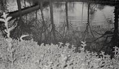 Ardea cinerea Linnaeus (Grey heron) (CroytaqueCie) Tags: ardeacinerealinnaeus héron héroncendré greyheron blauwereiger アオサギ 苍鹭 сераяцапля մոխրագույնտառեղ harmaahaikara volavkapopelavá 왜가리 diệcxám fujidl300 kodaktmax400 birdwatching birdlover birdsonfilm