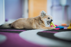 Peppe (Arnez_) Tags: dogs pets chihuahua sony gm 85 animals portrait