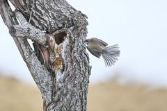 Boreal Chickadee (Peter Stahl Photography) Tags: parklandcounty alberta canada ca borealchickadee chickadee bird wildlife islelake