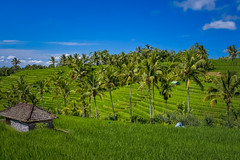 paddy fields (Guy Goetzinger) Tags: kulturland landschaft bali indonesia goetzinger nikon d500 jatiluwih nature 2019 landscape green unesco