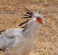 Secretary Bird (ralf galloway) Tags: tanzania safari 2018 secretary bird