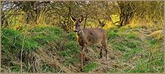 Roe Deer 03180582 (dark-dave) Tags: deer roedeer wildlife scotland bushnell
