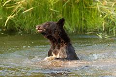 Sun Bathing (Beve Brown-Clark) Tags: bear blackbear nature predator wildlife ©bevebrownclark yearling