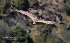 Griffon Vulture (Gyps fulvus) (George Wilkinson) Tags: torrejónelrubio cáceresprovince spain es