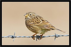 CORN BUNTING (PHOTOGRAPHY STARTS WITH P.H.) Tags: corn bunting maiden castle dorchester dorset nikon d500 500mm afs vr