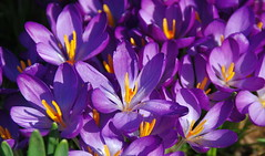 Focusing on a Crocus Can Be Such a DeLIGHT! (antonychammond) Tags: crocus flowers garden spring crocuses croci saffron contactgroups thegalaxy flowerarebeautiful