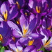 Focusing on a Crocus Can Be Such a DeLIGHT!