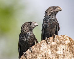 Smooth-billed Ani (geoffstokes296) Tags: cuckoo ani trinidadtobago trinidad haciendajacana crotophaga bird