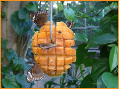 In the Butterfly House (margaretpaul) Tags: melbournezoo butterflyhouse butterfly mango