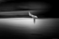 Gull (rich lewis) Tags: mono monochrome blackandwhite bird gull blur nature richlewis