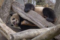 Panda Männchen Jiao Qing (DeanB Photography) Tags: 1dx 2019 animals berlin canon deanb tier tiere tierpark tierwelt zoo animal panda tierfotograf china bambus bär pandabär baer