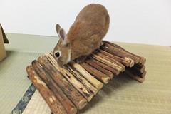 Ichigo san 1501 (Errai 21) Tags: いちごさん ichigo san  ichigo rabbit bunny cute netherlanddwarf pet ウサギ うさぎ いちご ネザーランドドワーフ ペット 小動物 1501
