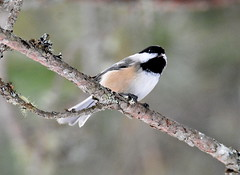 BLACK-CAPPED CHIKADEE (concep1941) Tags: birds chikadeefamily canadaparks miixedanddeciduouswoods willows feeders