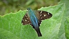 Polythrix caunus (kirstenmatthiesen) Tags: broncini caranavi bolivia butterfly mariposa