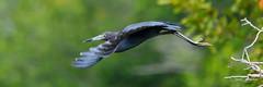 Undulate (craig goettsch - out shooting) Tags: sanibel2018 baileytract heron littleblueheron avian florida wildlife nature nikon d850