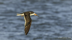 Black Skimmer over the San Francisco Bay (Bob Gunderson) Tags: aerialwaterbirds birds blackskimmer california northerncalifornia presidio rynchopsniger sanfrancisco waveorgan