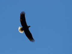 Backlit Bald Eagle (jmfuscophotos) Tags: americanbaldeagle baldeagle wildlife raptor nature bird connecticutriver essex birds riverquest eagle birdofprey connecticut