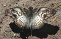 Mylon cajus (hippobosca) Tags: insect lepidoptera peru butterfly macro myloncajus hesperiidae skipper